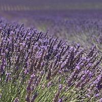 2019 france provence lavender fields