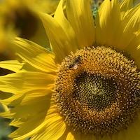 2019 france provence sunflower